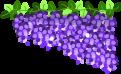 藤の花のイラスト1